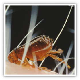 Diseases From Fleas King County
