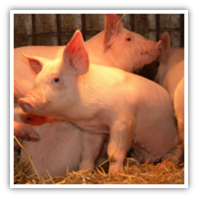 Diseases From Pigs King County