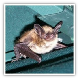 Diseases from bats to humans