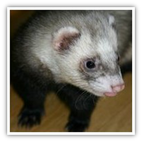 Diseases from ferrets to humans