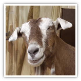 Diseases from goats and livestock to humans