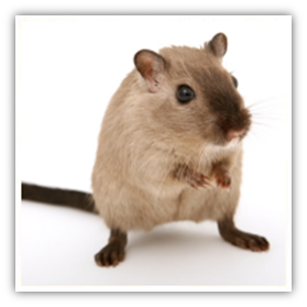 Diseases from rodents, pocket pets and rabbits to humans