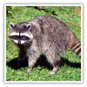 Diseases from raccoons and wildlife