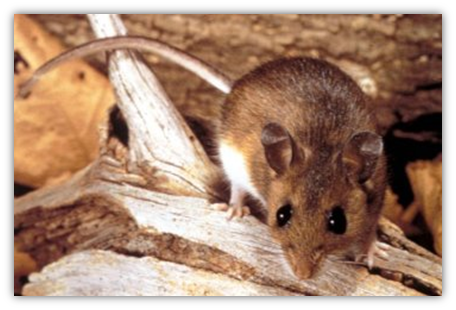 Peromyscus maniculatus (deer mouse): Determined to be one of the reservoirs and transmitters of the Hantavirus.