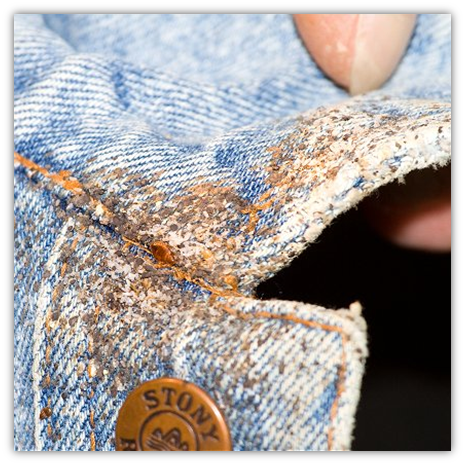 Bed bugs with multiple eggs on clothing
