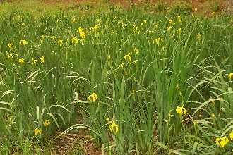 yellow flag iris infestation