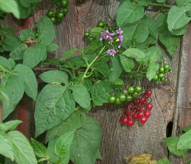 Bittersweet Nightshade Identification - Solanum dulcamara