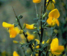 Scotch broom flowers - click for larger image