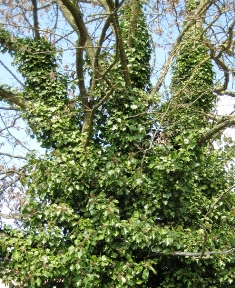 English ivy covering a tree - click for larger image