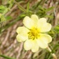 sulfur cinquefoil flower closeup - click for larger image