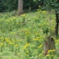 Tansy ragwort in a woodland - click for larger image