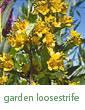 garden loosestrife