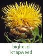 bighead knapweed