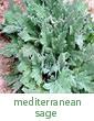 Mediterranean sage