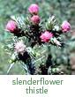 slenderflower thistle