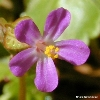 King County Weed of the Month Shiny Geranium - Click for KC Weeds News
