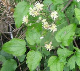 Old Mans Beard Identification And Control Clematis Vitalba King