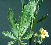 Closeup of sulfur cinquefoil leaf and flower