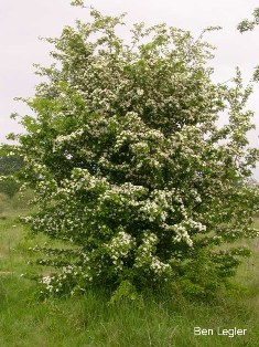 Common hawthorn - Crataegus monogyna - click for larger image