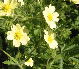 Sulfur cinquefoil flowers and leaves - click for larger image