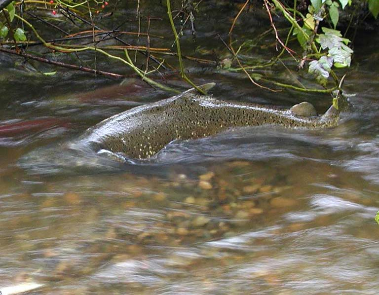 Salmon Seeson: chinook salmon in Bear Creek