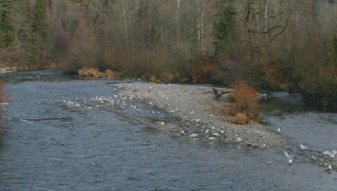 Salmon spawning in a King County river.
