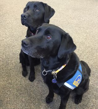 Courthouse dogs, Errol and Molly look very focused.