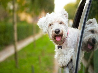 Dog_White_Riding_in_Car_Tag