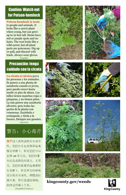 poison-hemlock-poster_english-spanish-simplified-chinese