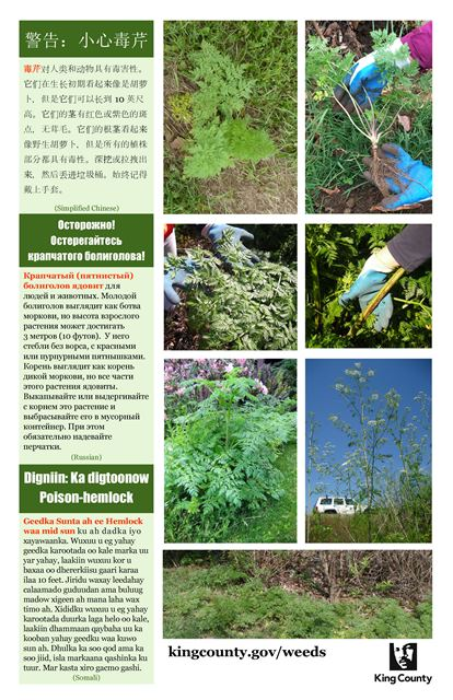 poison-hemlock-poster_simplified-chinese-russian-somali