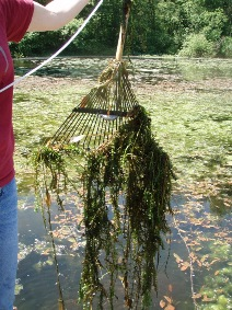Lake plants on a collecting rake - click for larger image