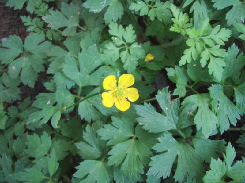 creeping buttercup flower with leaves