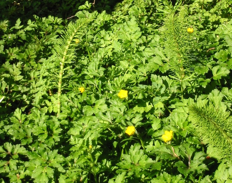 Creeping buttercup with horsetail
