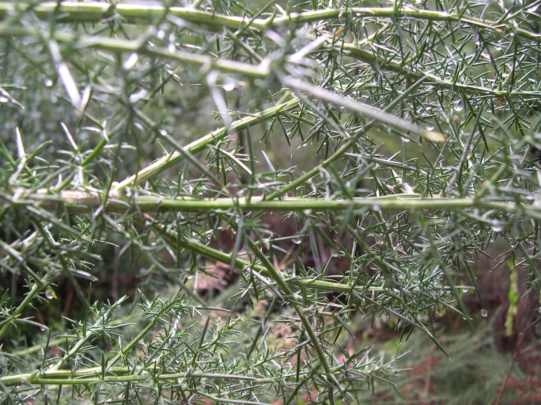 Gorse stem closeup