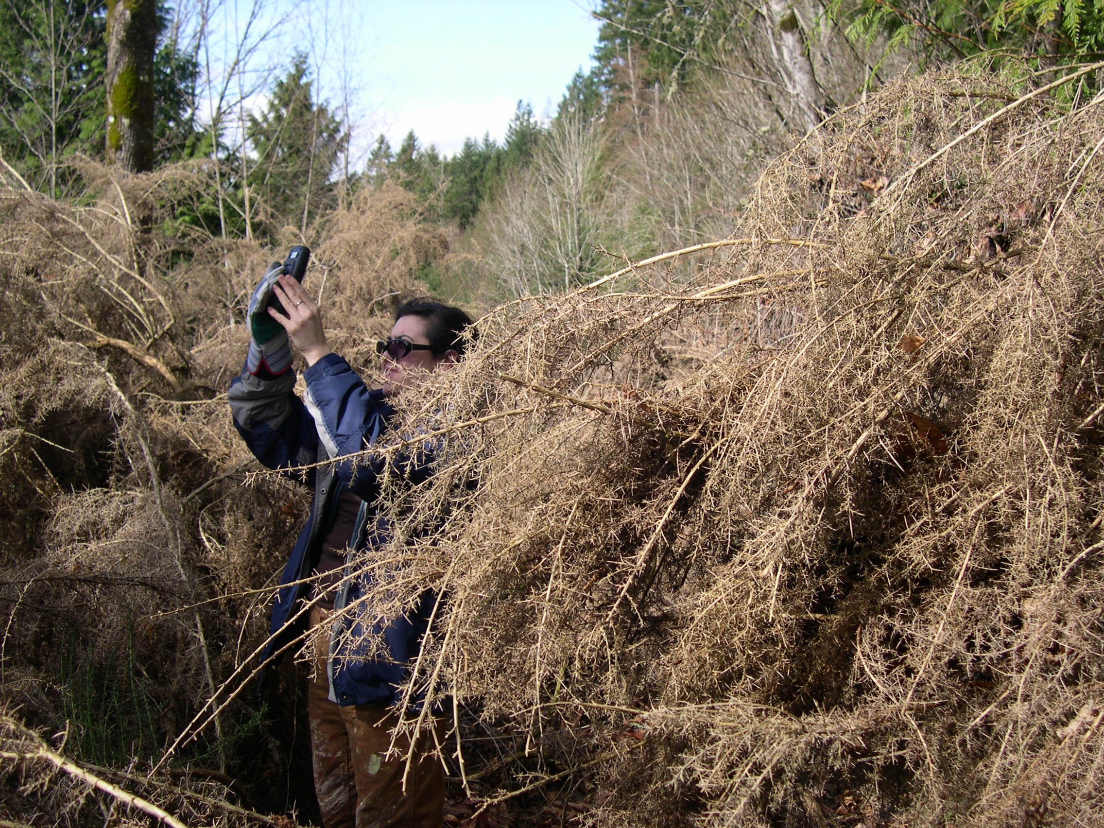 Weed specialist mapping treated gorse