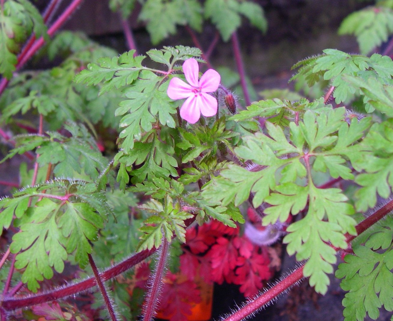Herb robert identification and control geranium robertianum king herb robert flower closeup click for larger image mightylinksfo