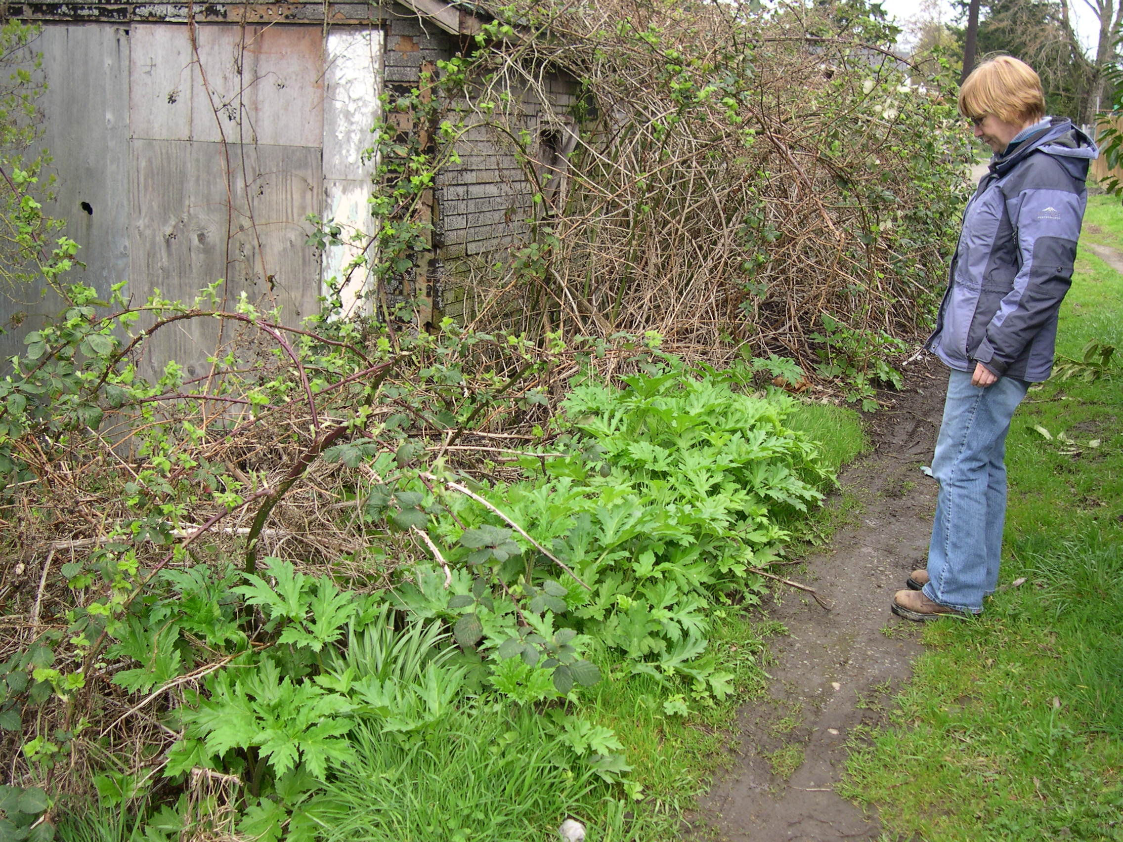 Giant hogweed early season plants in an alley
