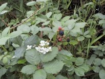 Himalayan blackberry - click for larger image