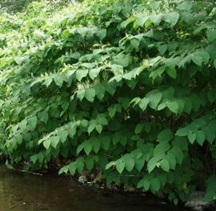 Invasive Knotweed on the Raging River - click for larger image