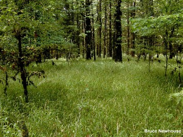 False Brome (Brachypodium sylvaticum) Infestation in Forest - click for larger image