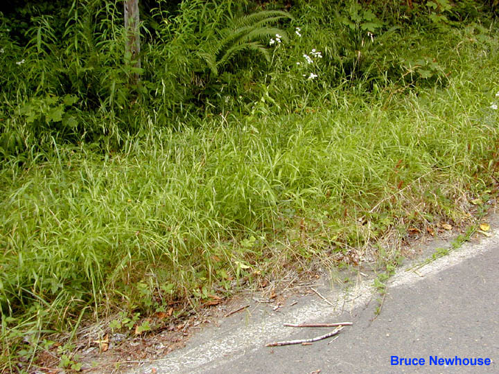 False Brome (Brachypodium sylvaticum) Roadside Patch