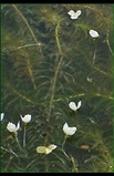 Brazilian elodea flowering
