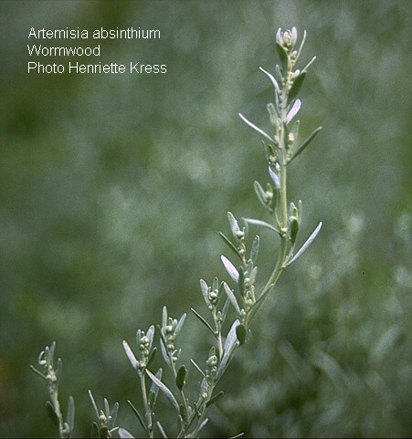 Absinth wormwood - Artemisia absinthium flowering stem
