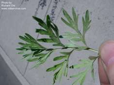 Absinth wormwood - Artemisia absinthium leaf - click for larger image