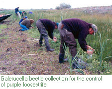 Galerucella beetle collection in Eastern WA