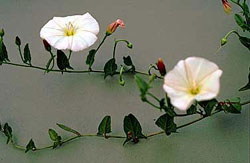 field bindweed plant