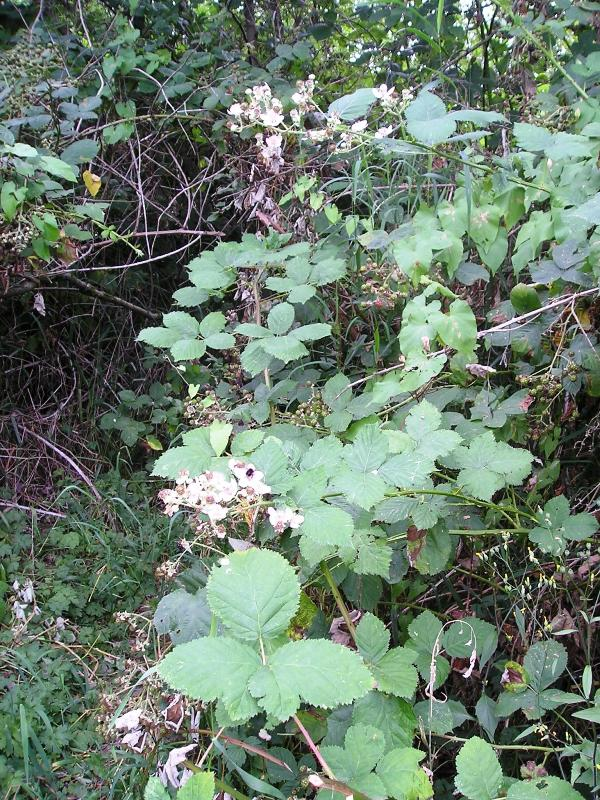 Himalayan blackberry identification and control: Rubus