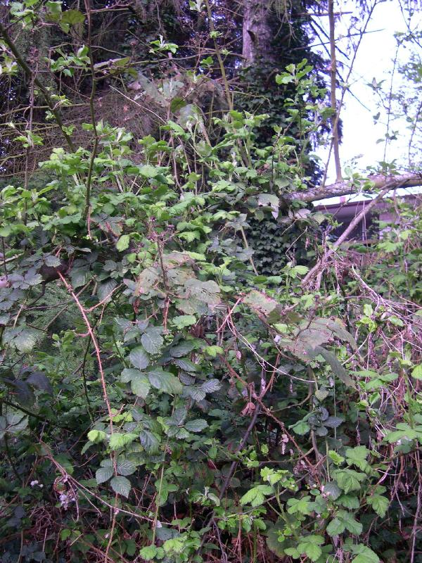 Himalayan blackberry identification and control: Rubus ...