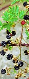 Evergreen blackberry in fruit