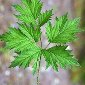 Evergreen blackberry leaf - click for larger image